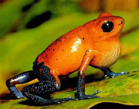 Common name poison arrow frog